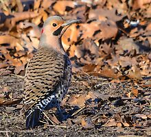 Northern Flicker by Nancy Barrett