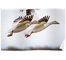 Synchronized Launch -- Snow Geese Poster