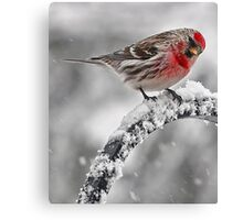 Red Poll -- Cold, But Hungry Canvas Print