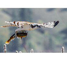 Flight of the Mudcat -- Osprey Photographic Print