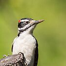 Up Close and Personal -- Hairy Woodpecker by Tom Talbott