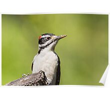 Up Close and Personal -- Hairy Woodpecker Poster