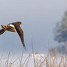 Harrier Hunting -- Northern Harrier by Tom Talbott
