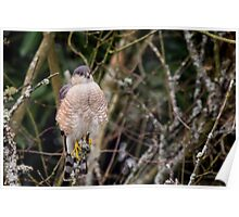 Hawk on a Stick -- Sharp-shinned Hawk Poster