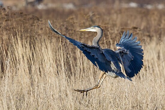Great Blue Heron Landing by Tom Talbott