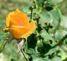Yellow rose by superferretIX