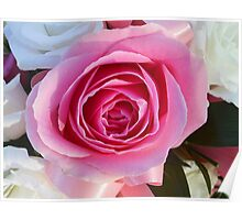 Pink Rose and Ribbon Poster