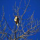 Cooper's Hawk by Laura Puglia
