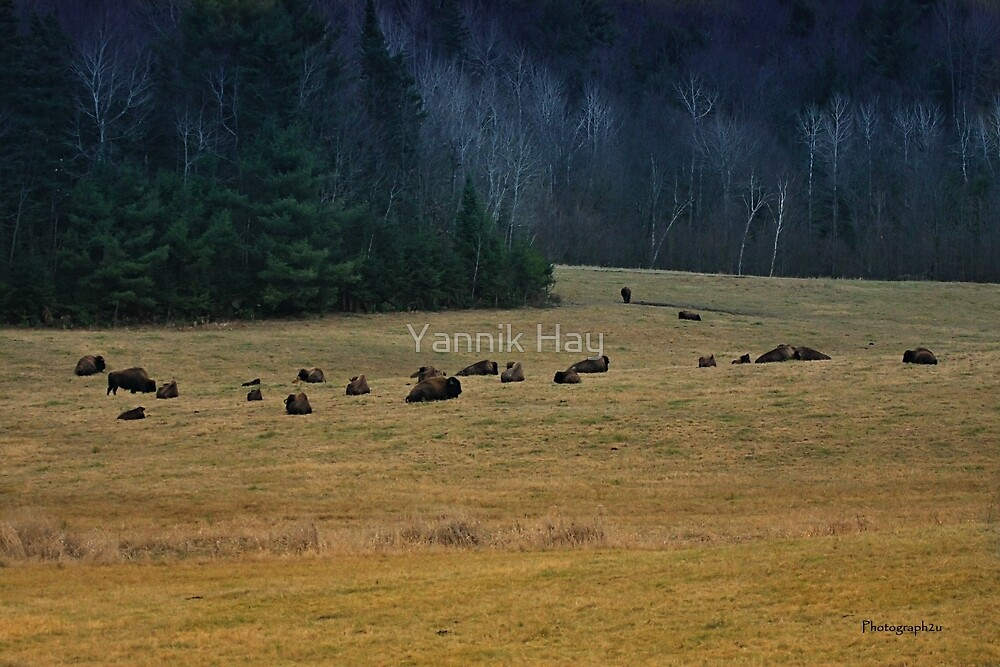 In The Prairies, Bison Relaxing by Yannik Hay