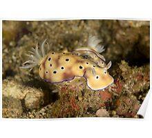 Nudibranchs - Hypselodoris tryoni Poster