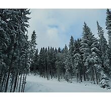snowy fir forest Photographic Print