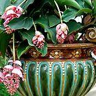 Medinilla magnifica in pot by Arie Koene