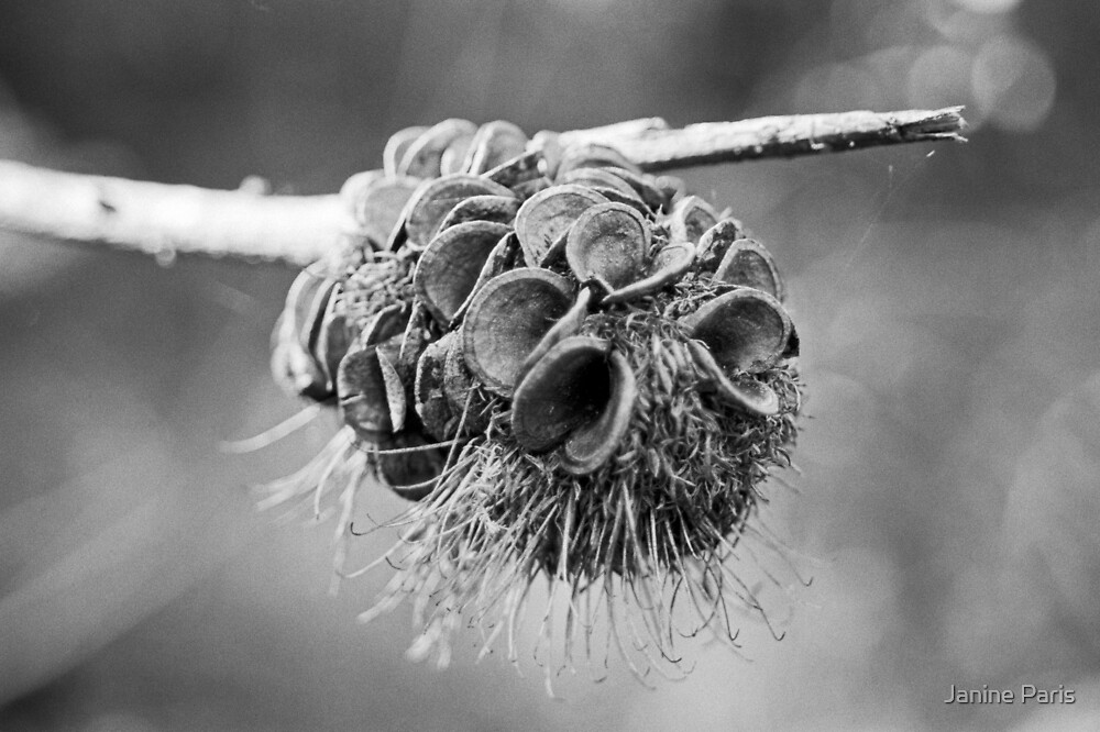 banksia seed pod (Victoria) by Janine Paris