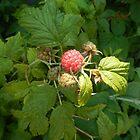 NEW - OUR FIRST HOMEGROWN RED RASPBERRY  by Colleen2012
