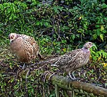 Young Pheasants in the garden.......... by lynn carter