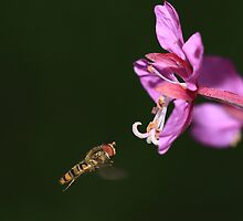 Hoverfly in flight by Maria Gaellman