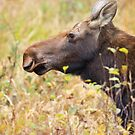 Moose profile, Algonquin Park, Canada by Jim Cumming