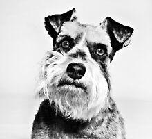 Angry Miniature Schnauzer Puppy by dataq
