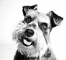 Miniature Schnauzer Puppy by dataq