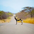 African Wild Dog by Shannon Benson