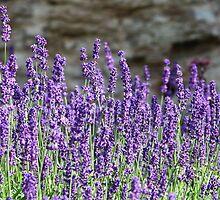lavender flowers on mountainside by mrivserg