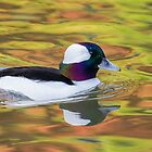 Bufflehead Male.. by Lauren Tucker