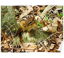 Eastern Chipmunk Chilling On A Rock Poster