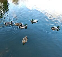 DOWN AT THE LOCAL DUCK POND. by ronsaunders47