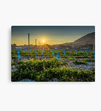 Sunset flare over the young cabernet Canvas Print