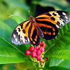 Tigerwing Butterfly by Amy McDaniel
