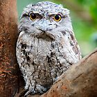 Tawny Frogmouth by Chris  Randall