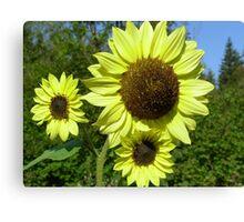 Sunflowers Little & Large  Canvas Print
