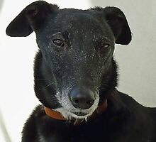 Old Nobby- Rescue Dog by lynn carter