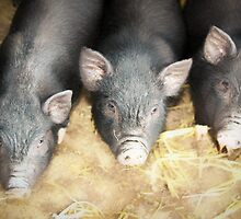 The Three Little Pigs by missmoneypenny