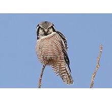 Northern Hawk Owl Photographic Print