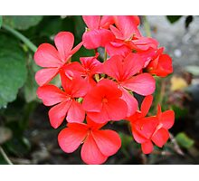 pretty small red flowers Photographic Print