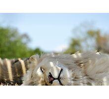 Sleeping Lion Photographic Print