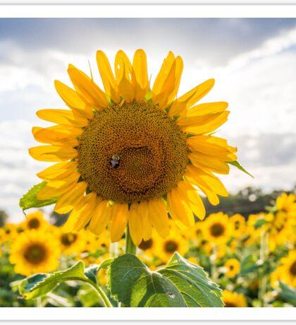 Bee on Sunflower Sticker