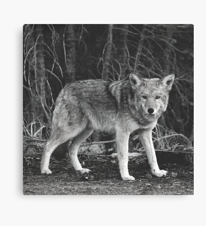 Powerful Wolf in Black and White Canvas Print