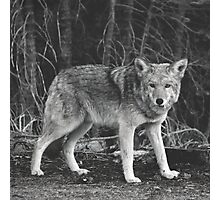 Powerful Wolf in Black and White Photographic Print