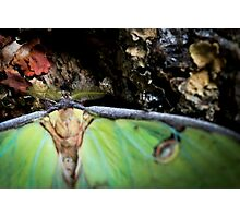 Moon Moth Photographic Print