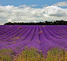 Lavender Landscape by ScenicViewPics