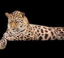 Amur leopard by Carole Anne Ferris