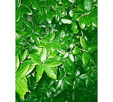 Green leaves coated in rain. Photographic Print