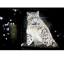 Wild Cats - Snow Leopard Photographic Print