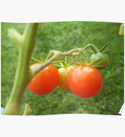 Tomatoes in Progression - Beauty Series Poster