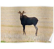 "Nice Young Bull Moose...""I'm a Handsome Dude"" Poster"