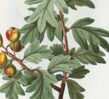 Traité des Arbres et Arbustes 0280 Mespilus azarolus Neflier azérole Sticker