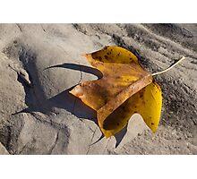 Tulip Tree Leaf - Shadow and Light Photographic Print