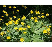 Beautiful yellow wild flowers Photographic Print
